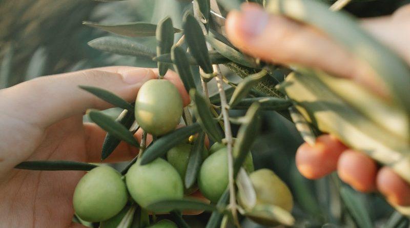 come scegliere un abbacchiatore per olive